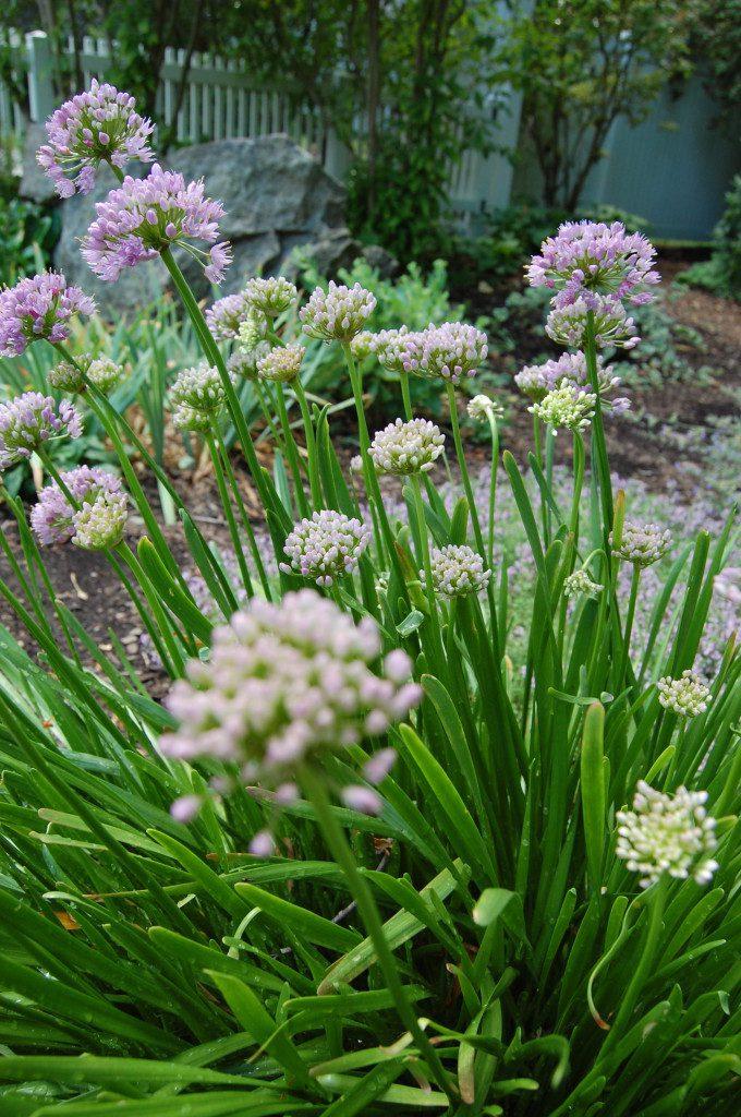 Garlic Chives at Goodell Gardens